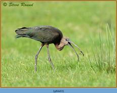 glossy-ibis-03.jpg