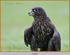 gyr-falcon-03c.jpg