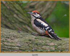 gt-s-woodpecker-08.jpg