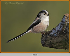 long-tailed-tit-62.jpg