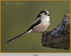 long-tailed-tit-62.jpg