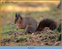 red-squirrel-27.jpg