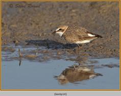 kentish-plover-14.jpg