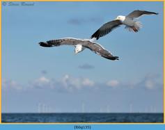 lesser-black-backed-gull-135.jpg