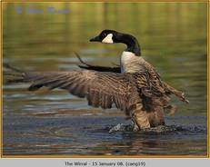 canada-goose-19.jpg