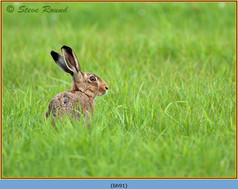 brown-hare-91.jpg