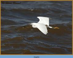 little-egret-66.jpg