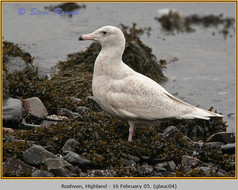 glaucous-gull-04.jpg
