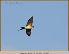 red-rumped-swallow-04.jpg