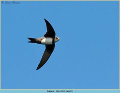 alpine-swift-21.jpg