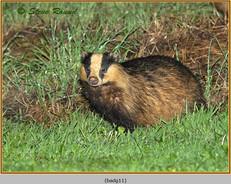 badger-11.jpg