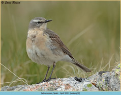 water-pipit-30.jpg