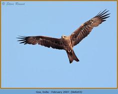 black-kite-03.jpg