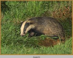 badger-33.jpg