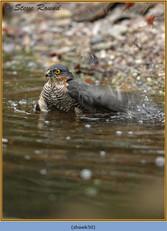 sparrowhawk-50.jpg