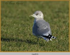 common-gull-23.jpg