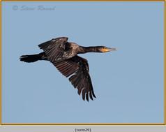 cormorant-29.jpg