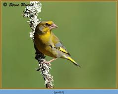 greenfinch-67.jpg