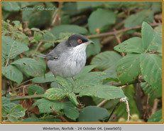 sardinian-warbler-05.jpg