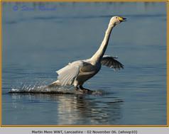whooper-swan-10.jpg