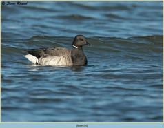 brent-goose-39.jpg