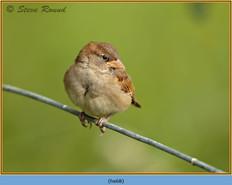 house-sparrow-68.jpg