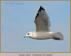 common-gull-18.jpg