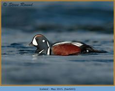 harlequin-duck-43.jpg