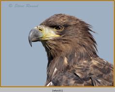 white-tailed-eagle(c)-01.jpg