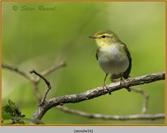wood-warbler-34.jpg