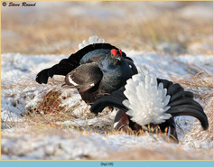 black-grouse-118.jpg