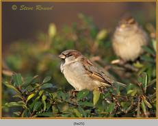 house-sparrow-25.jpg