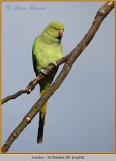 ring-necked-parakeet-10.jpg