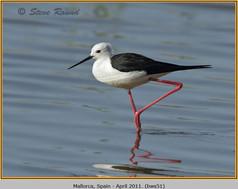 black-winged-stilt-51.jpg