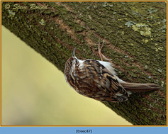 treecreeper-47.jpg