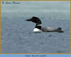 great-northern-diver-39.jpg