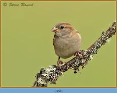 house-sparrow-59.jpg