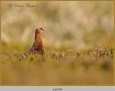 red-grouse-134.jpg