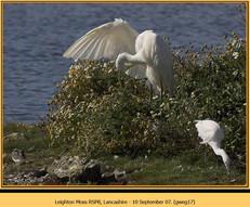 great-white-egret-17.jpg