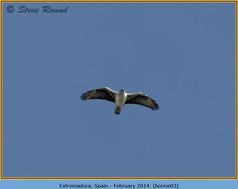 bonelli's-eagle-03.jpg