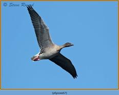 pink-footed-goose-67.jpg