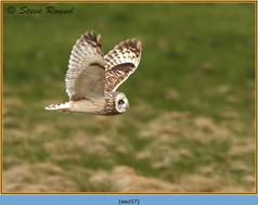 short-eared-owl-57.jpg