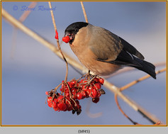 bullfinch-45.jpg