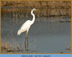 great-white-egret-30.jpg