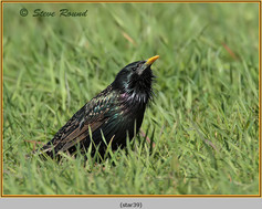 starling-39.jpg