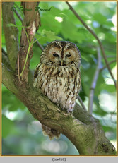 tawny-owl-18.jpg