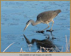 grey-heron-48.jpg