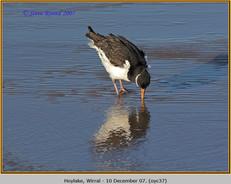 oystercatcher-37.jpg