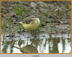 yellow-wagtail-19.jpg