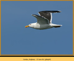 gt-b-backed-gull-04.jpg
